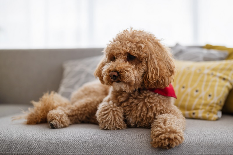 hairy little poodle dog